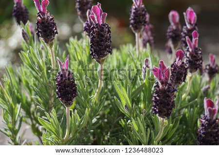 A detailed picture of butterfly lavender close up