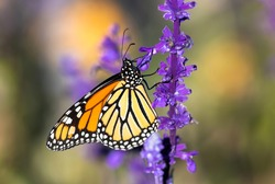 A detailed side profile image of a Monarch Butterfly climbing a brightly colored Lavender plant, within a Lavender garden setting.