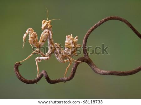 A devil flower mantis nymph is sitting on a vine. #68118733