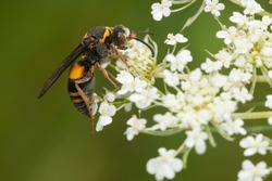 A Devious Sand Wasp is collecting nectar from a white Queen Anne's Lace flower. Taylor Creek Park, Toronto, Ontario, Canada.