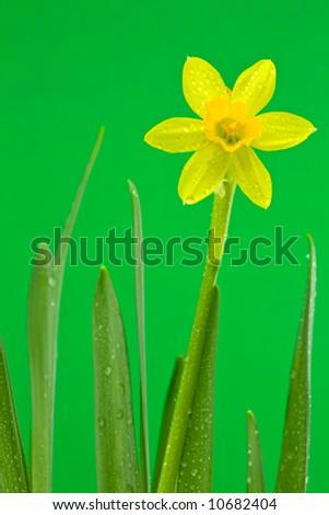 A Dewy Daffodil on Green Background