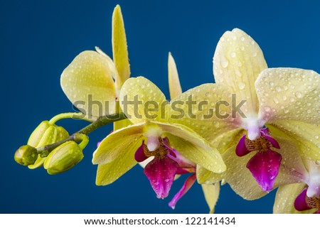 a dewy yellow orchid