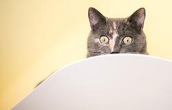 A Dilute Calico domestic shorthair cat peeking over a ledge