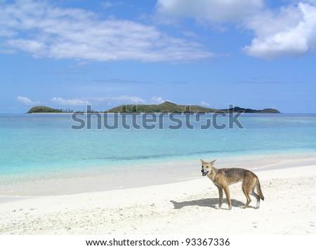 A dingo by the beach in Australia.