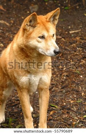 A dingo dog australian native animal Photography