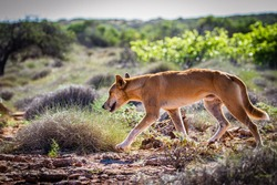 A Dingo making its way through the dense spinifex that are scattered across Australia's Northwest Cape. Dingos are not uncommon in this area. Sightings increase significantly at night.