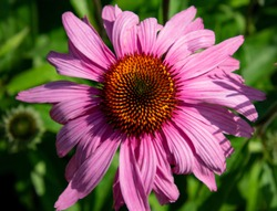 A direct over-head view of a Echinacea Prairie Splendor Coneflower on a Summer day.