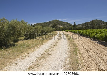 A dirt road lined with vineyards and olive trees. Provence, France.