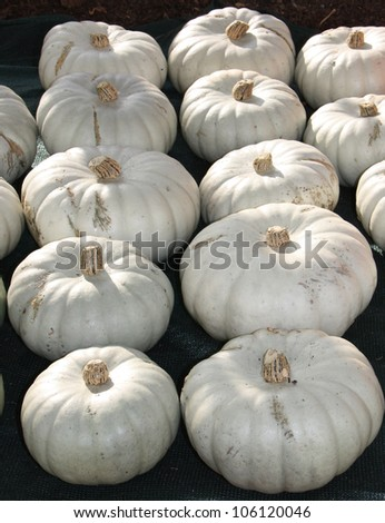 A Display of Freshly Grown Large White Pumpkins.