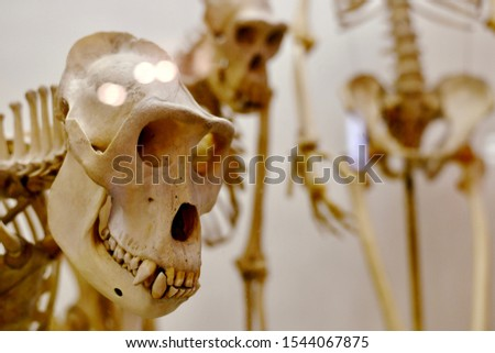 A distant look of a monkey skull and a standing pose nearby. Zdjęcia stock ©