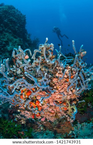 A diver explores a vibrant coral reef in Komodo National Park, Indonesia. This tropical region, part of the Coral Triangle, is a popular destination for scuba divers and snorkelers. #1421743931