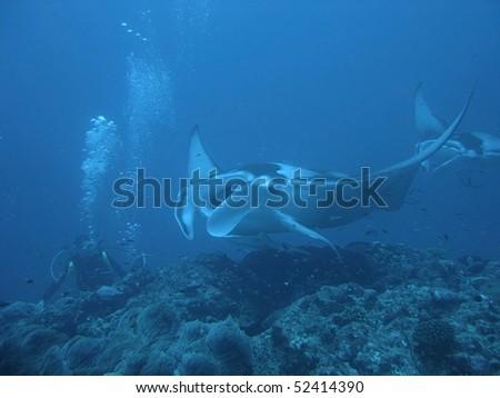 A diver meets a Manta Ray (Manta birostris) over the coral reef