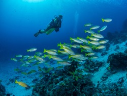 A diver on a blue sea background watches a school of snapper