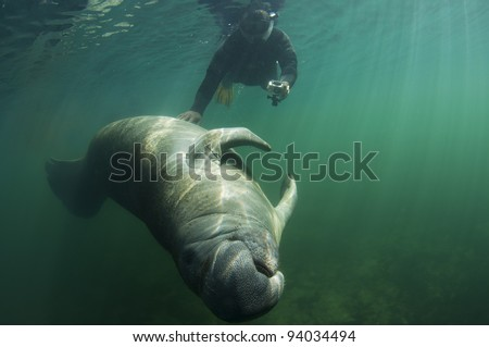 a diver rubs the belly of a manatee in Florida's Homosassa Spring