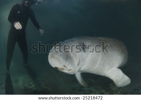 A diver watches as a florida manatee (Trichechus manatus latirostrus) swims by in the springs of Crystal River, Florida