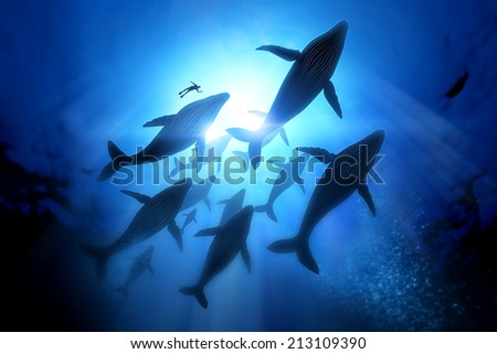 Stock Photo A diver with a pod of humpback whales.