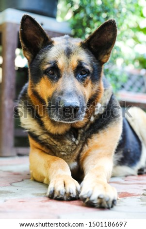 A dog a German shepherd with sad eyes lies in the yard. Portrait of an adult dog #1501186697