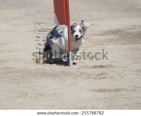 A dog agility in action. An australian shepherd dog is doing great on a slalom point in the agility race. Image taken during sunny day on a sandy track.
