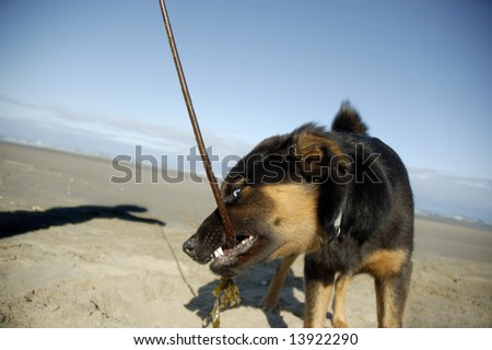 A dog at the beach playing with her owner