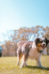 A dog breed Aussie with the sunshine behind