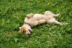 A dog breed spaniel carelessly lying around in the grass and smiling merrily.