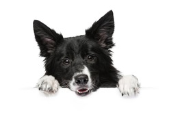 A dog breeds a border collie stands with paws on a white banner or a poster, isolated.