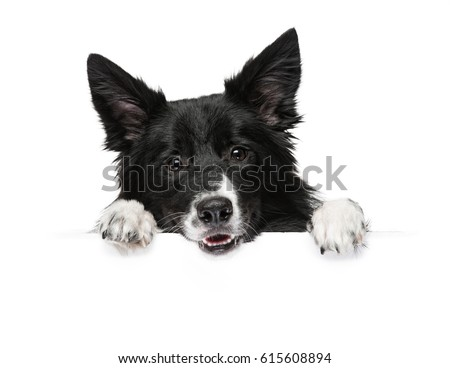 A dog breeds a border collie stands with paws on a white banner or a poster, isolated. #615608894