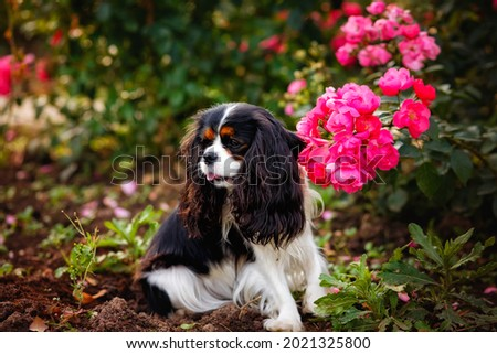 A dog cavalier king charles, a cute puppy lying in the garden, sticking out its tongue Photo stock ©