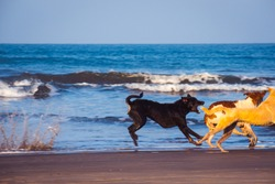 A dog chases another dog to bite its tail and splashes ocean water at a beach in the morning time. too close for comfort, risky, morning at the beach.