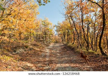 A dog cocker spaniel jumping in autumn path