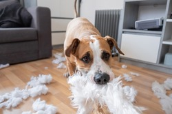 A dog destroying a fluffy pillow at home. Staffordshire terrier tearing apart a piece of homeware, close-up view