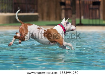 A dog diving off the side of a pool into the water, pitbull jumping and landing in the swimming pool