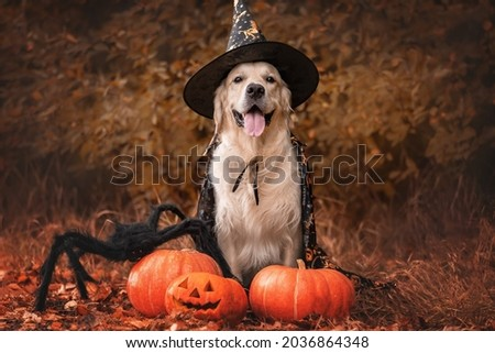A dog dressed as a witch for Halloween. A golden retriever sits in a park in autumn with orange pumpkins and a large spider for the holiday.