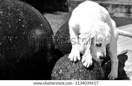 A dog (golden retriever) balance over fountain,  playing the water #1134039617