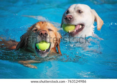 A dog having a fun at a local public pool open for free admission yo let dogs swim at the end of summer #763124986