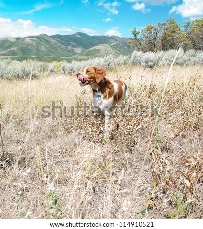 A dog hiking in the mountains in the summer stops to take a rest; bird dog; tongue out; panting