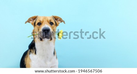 A dog holding a flower chrysanthemum in its teeth on the blue background. Tricolor dog congratulating or celebrating mother's day. International women's day. Copy space. Place for text. Banner. Foto stock ©