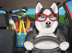A dog husky drives a car on the highway. A shopping basket with food is next to him.