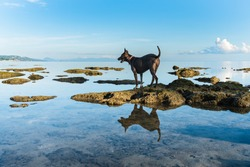 A dog in a red collar stands on the rocks in the sea against the background of blue sky and clouds on a sunny morning. Reflections of the dog and the sky in the water.