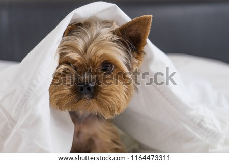 A dog in a white blanket in bed, a Yorkshire terrier #1164473311