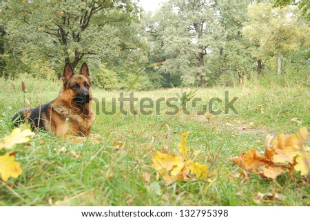 A dog in autumn forest. A dog silhouette in autumn background.