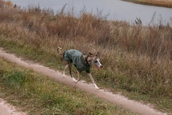 A dog in clothes runs along an autumn country road past the river