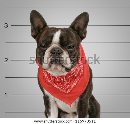 a dog in front of a convict poster getting a mug shot taken