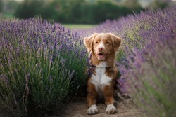 a dog in lavender flowers. Lovely pet. Nova Scotia Duck Tolling Retriever, Toller