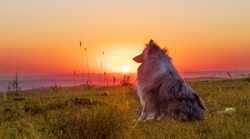 A dog in profile while the sun sets behind the valley. Light from sunlight and blue merle collie. Dog enjoying summer sunset or sunrise over the valley sitting on the grass.