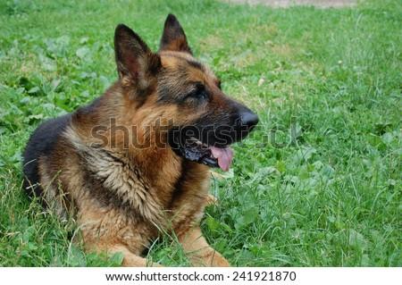 A dog in summer garden. A dog silhouette on a green grass background.