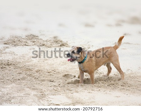 A dog is digging in the sand - stock photo