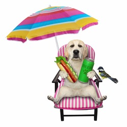 A dog labrador on a beach chair is drinking beer and eating a hot dog under an umbrella. White background. Isolated.