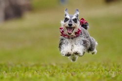 A dog of breed Miniature Schnauzer runs.