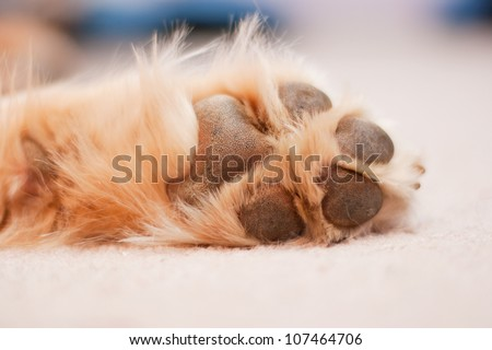 A dog paw with pads on a light carpet, image slightly toned/Dog Paw/A dog's paw rests